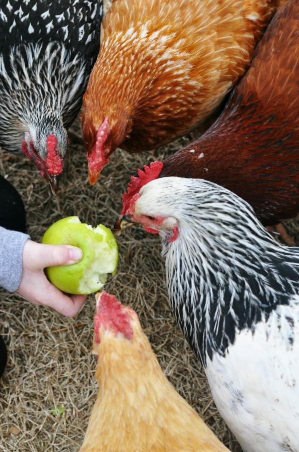 feeding chickens2